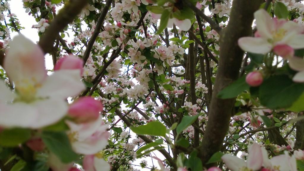 Pommier en fleur wp_20130507_002