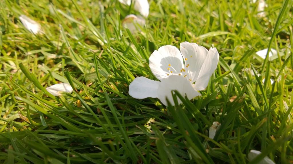 Fleur de cerisier wp_20130507_011