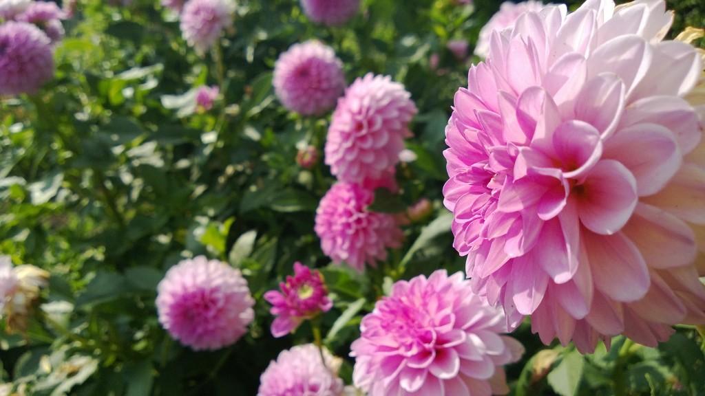 Fleur rose wp_20130830_007